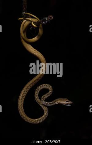Una serpiente de vid asiática enrollada (Ahaetulla prasina) del Valle de Danum en Borneo malasio.