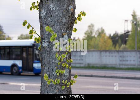 brotes jóvenes verdes en un árbol contra el fondo de la calle urbana, el problema ambiental de la contaminación del aire en la ciudad debido al aumento del tráfico,