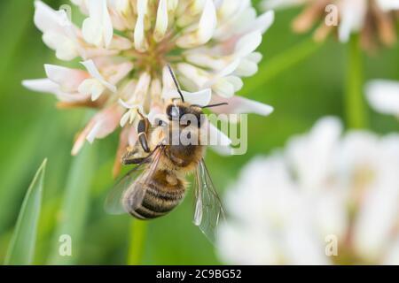 Honigbiene, Honig-Biene, Europäische Honigbiene, Westliche Honigbiene, Biene, Bienen, Apis mellifera, Apis mellifica, abeja melífera, abeja colmena, hón occidental