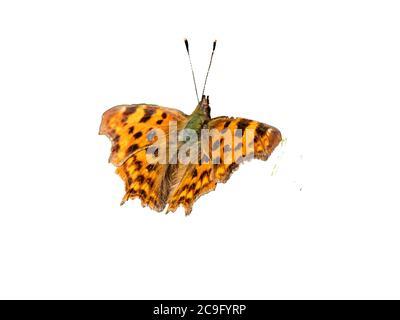 mariposa de fritillary sobre fondo blanco