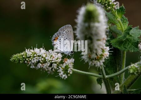 Azul de cola oriental en la flor de la menta de manzana. Una mariposa común del este de América del Norte se distingue por su pequeña cola delgada. Foto de stock