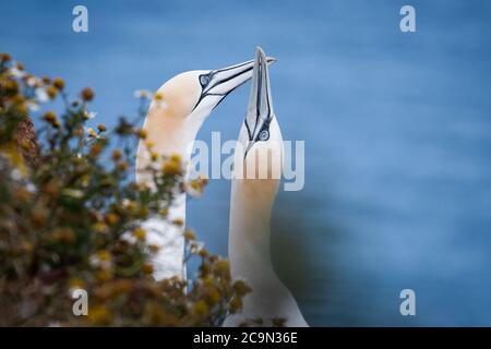 Un par de ganetos (Morus basanus) con un nido en la vegetación realizar lo típico saludo de facturación antes de partir Foto de stock