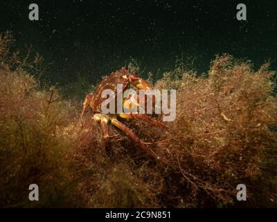 Una foto bajo el agua de primer plano de un cangrejo tomando refugio en algas marinas. Foto de Oresund, Malmo en el sur de Suecia.