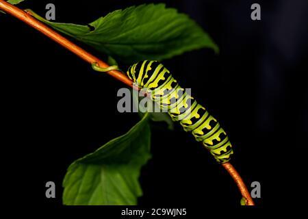 Orugas negras Swallowtail. En América del Norte son especies más comunes. Es la mariposa estatal de Oklahoma y Nueva Jersey.