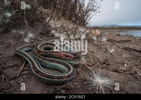 Una serpiente de garterpias roja de california (Thamnophis sirtalis infernalis) descansando junto a un estanque de ganado en Point Reyes National Seashore en CA.
