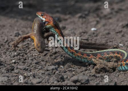 Una serpiente de cola roja de california (Thamnophis sirtalis infernalis) comiendo un newt (Taricha torosa), 1 de los pocos depredadores que pueden manejar las toxinas del newt.