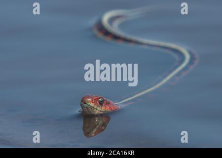 Una serpiente de color rojo de California (Thamnophis sirtalis infernalis), posiblemente una de las serpientes más bellas de América del Norte.