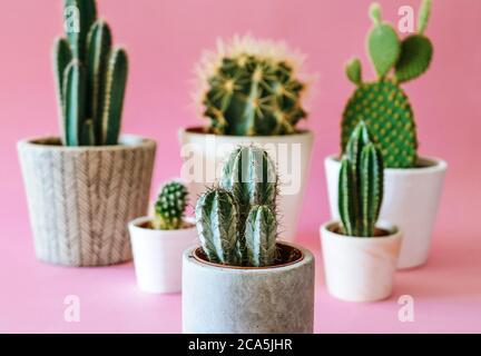 Varias plantas de cactus / cactus en cemento y macetas blancas, aisladas sobre fondo de color rosa pastel.