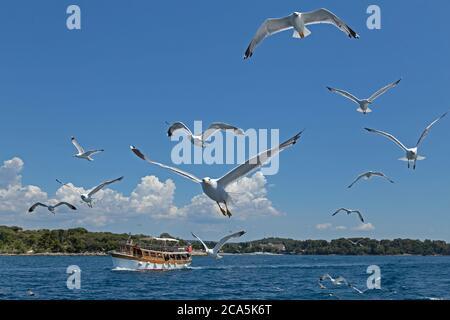 Gaviotas de patas amarillas (Larus michahellis) en vuelo, cerca de Rovinj, Istria, Croacia