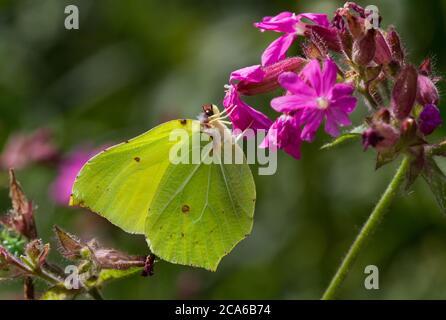 Mariposa común de azufre en la flor rosa de campion Rojo
