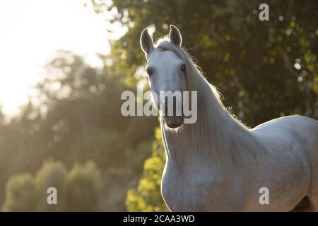 Hermoso retrato de un caballo español blanco al atardecer