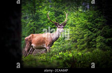Ciervo, Cervus elaphus, con cuernos creciendo en terciopelo.un ciervo enorme en el bosque de piceas profundas. Animales salvajes en primavera . La mejor foto.