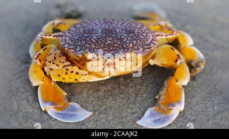 cangrejo amarillo en la arena de la playa, una concha fuerte para la protección y una gran garra para la defensa, este crustáceo es un buen luchador. macro foto