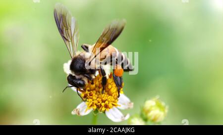 abeja volando sobre una flor de margarita para encontrar polen, macro fotografía de este frágil y gracioso insecto Hymenoptera, escena de la naturaleza en los jardines de Pai