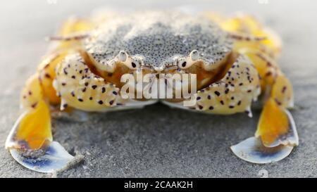 cangrejo amarillo en la arena al atardecer, una concha fuerte para la protección y dos grandes garras para la defensa, este crustáceo es un buen luchador. macro foto