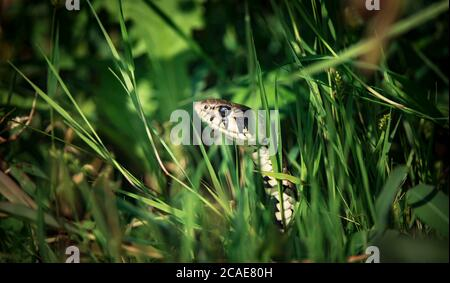 La hierba de la serpiente Natrix natrix, la serpiente se esconde en la hierba y está en la caza, la mejor foto.