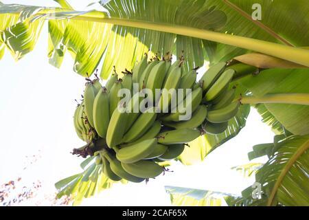 Plátano verde joven orgánico en un racimo en un árbol. Racimo de plátanos inmaduros en un árbol. Las frutas de plátano se desarrollan a partir de la inflorescencia también conocida como plátano he