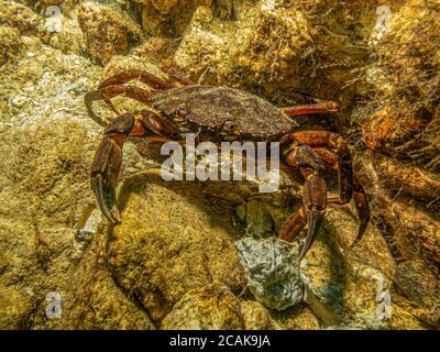 Una foto bajo el agua de primer plano de un cangrejo tomando refugio entre piedras y algas marinas. Foto de Oresund, Malmo en el sur de Suecia.