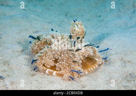 Imitando es cercano relativo a las anémonas del mar, este manglar upsidedown medusas, Cassiopea xamachana, se ve con frecuencia descansando, campana abajo, tentac