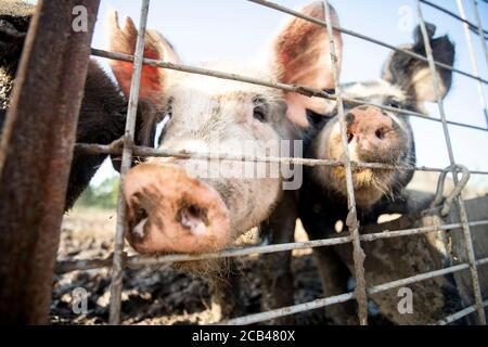 Varios animales de granja como cerdos, caballos y vacas en una granja en Texas.