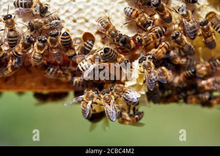 Foto macro de Bees de cerca en el marco de panal de abeja en el apiario en las montañas