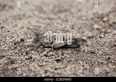 Saltamontes de alas azules (Oedipoda caerulescens) en una reserva natural de arena cerca de Haltern, Alemania