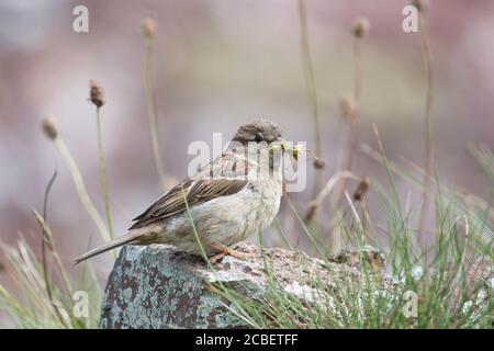 Sparrow de casa femenina (Passer domesticus) con presa saltamontes