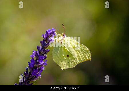 Una mariposa común de azufre (Gonepteryx rhamni) en Lavender