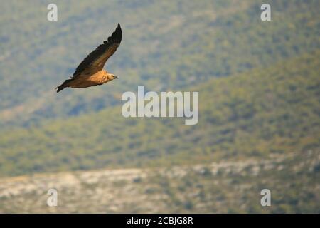 Griffon Vulture volando en las Gorges du Verdon, Provenza, Francia.