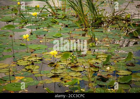 Una vista de cerca de un humedal con lirios de agua flotando en la superficie del agua, así como hierba y cañas. Las almohadillas de lirio tienen blanco y amarillo f