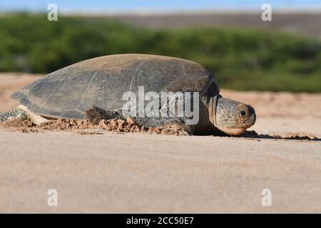 Tortuga verde, tortuga de roca, tortuga de carne (Chelonia mydas), hembra en la playa, isla de Ascensión