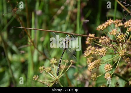 Dragonfly de anillo dorado colgando del tallo