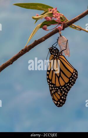 Mariposa monarca, Danaus plexippson, emerge de Chrysalis seca alas azul fondo retrato