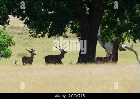 Windsor, Berkshire, Reino Unido. 20 de agosto de 2020. Una manada de ciervos estaban pastando en el Gran Parque de Windsor hoy cuando el sol regresó después de un día de lluvia torrencial ayer. Crédito: Maureen McLean/Alamy Live News