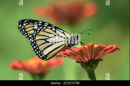 Cierre de la mariposa monarca alimentándose del néctar de la flor de Zinnia en Canadá.
