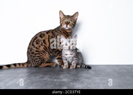 dos gatitos de bengala de pie en el suelo de hormigón delante de pared blanca mirando la cámara curiosamente