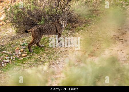 Lince ibérico macho (Lynx pardinus) de pie sobre una roca observando el valle, Sierra Morena, Andujar, Andalucía, España.