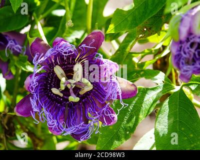 Pasionflower púrpura, Passiflora encarnata, florece en la vid, norte de Florida, EE.UU.