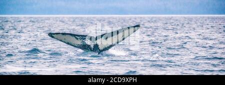 Actividad de excursión en crucero de avistamiento de ballenas en Alaska. Cola de ballena jorobada buceo en el mar. Banner panorama