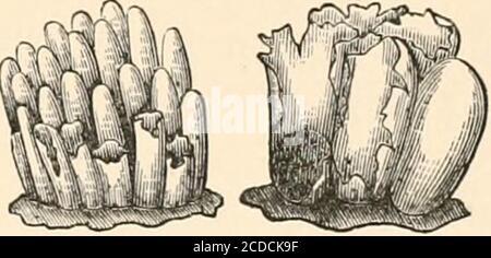 . Introducción al estudio de los hongos, su organografía, clasificación y distribución para el uso de coleccionistas. Se mantuvo una observación constante durante esta hora, y los bacilos fueron vistos gradualmente para disolver las vacuolas en las que se encontraban, hasta que toda la traza de ellas había desaparecido, junto con las vacuolas que las contenían, y solo la vacuola contratante permanecía en la sustancia homogenegranular de la célula enjambre. Al comienzo de la observación, este protoplasma granularera mucho más turbio que al final, cuando era notablemente hialina