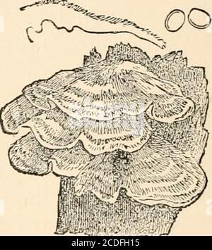 . Introducción al estudio de los hongos, su organografía, clasificación y distribución para el uso de los colectores. El pileus tiene un distintivo estrato análogo a ese inPolystidus, con un intermediatestrato, y un suave, incluso hymenium(Fig. 57). Muy parecido a la inapariencia es Hymenochacte, con la excepción de que el hymenium isvelvety, con procesos que se asemejan a cerdas. Con la excepción de Skep-peria, en la que el pileo es vertical, la mayoría de los géneros restantes se reupinan totalmente. Estos son : Conio-phora, en la que el substanceis efffuse membranaceous y liso, con color