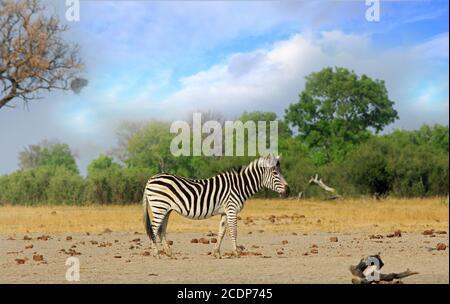 Solitary Burchell Zebra de pie en el árido y seco Bush africano con un fondo de arbusto natural y cielo azul pálido, Parque Nacional de Hwange