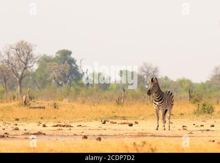 Una cebra solitaria de Burchell en las llanuras abiertas en el Parque Nacional de Hwange, Zimbabwe - con espacio para copyspace