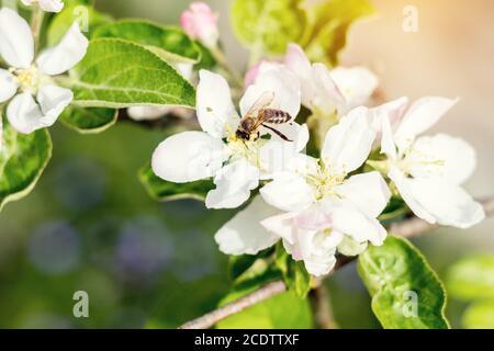 Bee recoge néctar y moscas. El árbol de manzana florece en la primavera