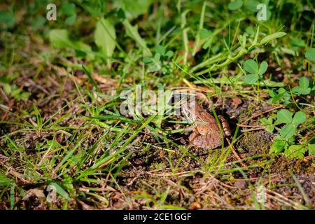 Rana marrón europea en el fondo verde de la hierba. Cerca de rana húmeda