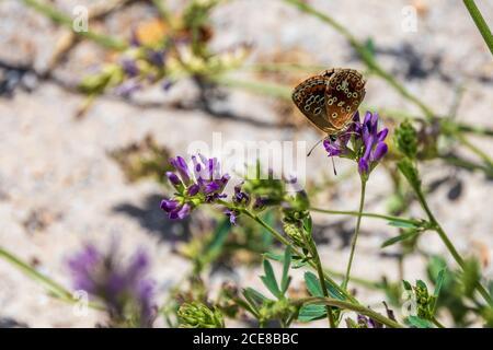 Aricia Cramera, Mariposa Argus Marrón del Sur sobre una Flor