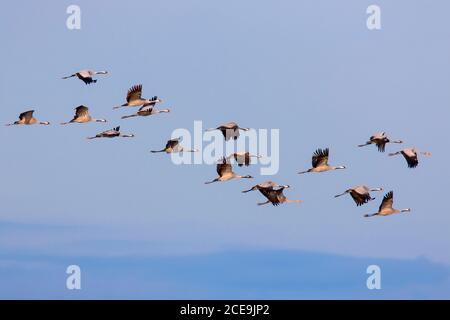 Rebaño migratorio de grúas comunes / grúa euroasiática (Grus grus) volando contra el cielo azul durante la migración en otoño