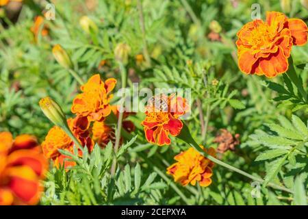 Flores de naranja, marinada francesa, Tagetes pápula