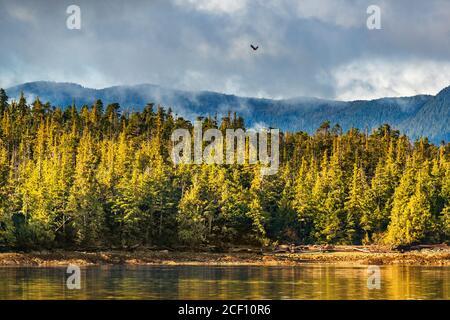 Alaska bosque vida salvaje aves naturaleza paisaje costa fondo con águila calva volando sobre la costa de los pinos en Ketchikan, Estados Unidos. Destino del crucero