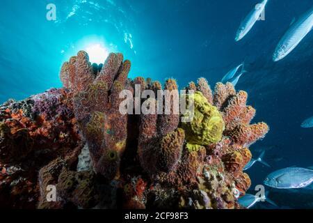 Varias esponjas suaves y coloridas con un arroyo de peces tropicales bajo el azul océano bajo la luz del sol